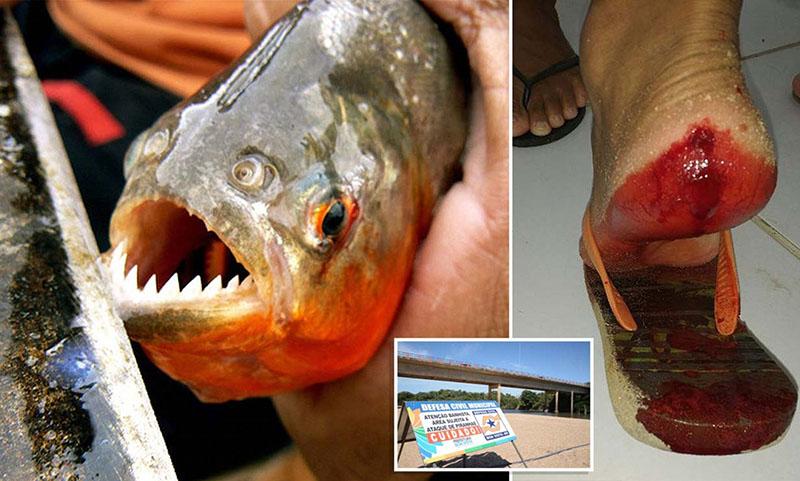 A piranha, és egy piranha harapás